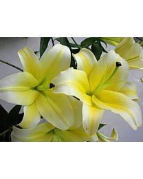 Lilium-Huang-tian-ba  5stems 90cm c66
