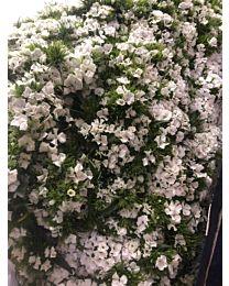 Barbatus-White 60cm 10stems c66
