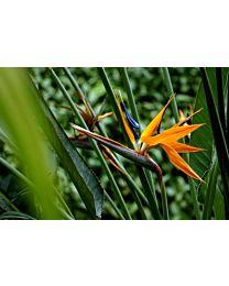 Strelitzia Reginea 1m 1pc c66