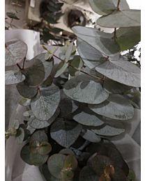Eucalyptus Cinerea 70cm 5stems c66