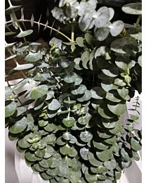 Eucalyptus-Baby Blue 10stems 70cm c66