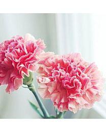 Carnation 20stems 75cm c66