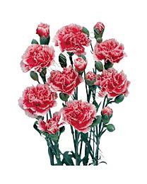 Spray Carnation C99