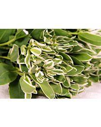Euphorbia Marginata 10stems 75cm c66